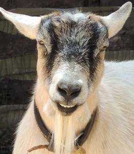 Most evil goat in the world