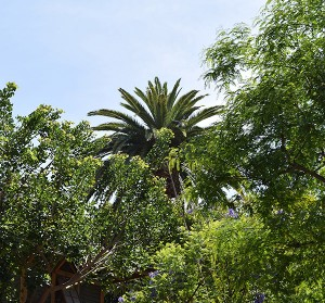 Cultivating the Magic tour: Dominguez palm