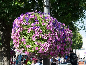 Cultivating the Magic tour: Hanging basket